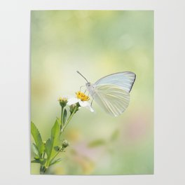 Great Southern White butterfly Poster