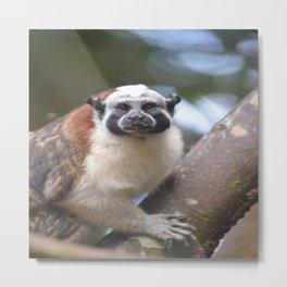 Cotton Head Monkey Metal Print
