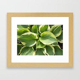 Hosta Plant Framed Art Print