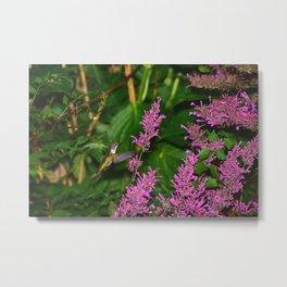 Hummingbird and agastache flower 60 Metal Print