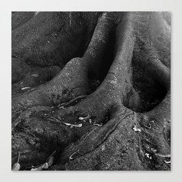Big Tropical Fig Tree Roots Canvas Print