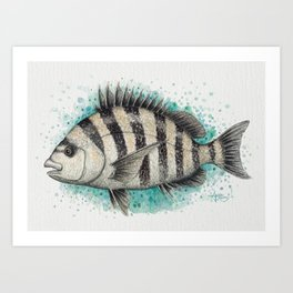 """Sheepshead Splash"" by Amber Marine ~ Watercolor Fish Painting (Copyright 2016) Art Print"