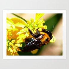 Eastern Carpenter Bee Art Print