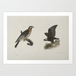 1272 13 The Red shoudered Buzzard (Buteo hyemalis) 14 The Golden Eagle (Aquila Chrysaetos)26 Art Print
