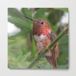 Hummingbird in the Japanese Maple Metal Print