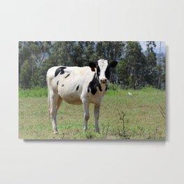 Young Holstein Cow in a Pasture Metal Print