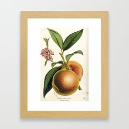 A peach plant - vintage illustration Framed Art Print