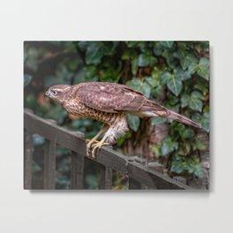 Sparrowhawk Metal Print