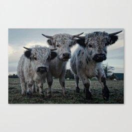 The Three Shaggy Cows Canvas Print