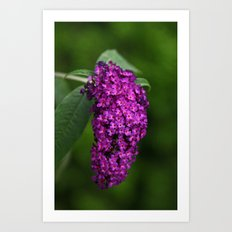 Lilac purple Art Print