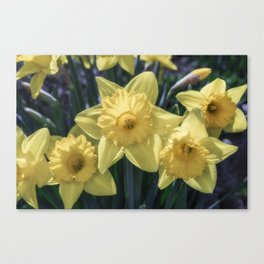 Spring time Daffodils Canvas Print