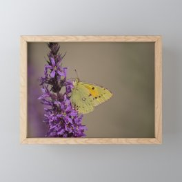 Clouded yellow butterfly Framed Mini Art Print