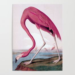 Flamingo - John James Audubon, (1827–38) Poster