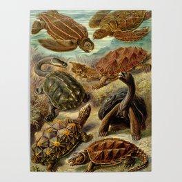 Sea Turtle Collage-Ernst Haeckel Poster