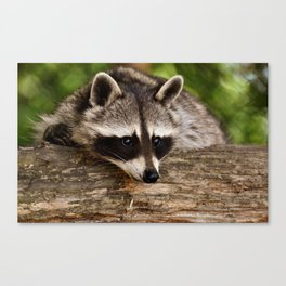 Adorable Raccoon Photo Canvas Print