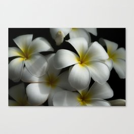 White plumeria flowers Canvas Print