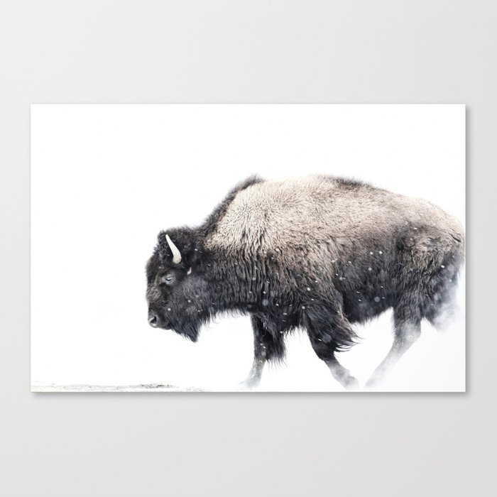 Bison in Yellowstone National Park Leinwanddruck