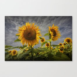 Sunflowers Blooming in a Field Canvas Print