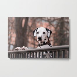 Dalmatian Dog Looking Out Over Gate Metal Print