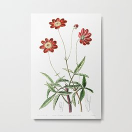 Scabious-like cosmos from Edwards's Botanical Register (1829—1847) by Sydenham Edwards, John Lindley Metal Print