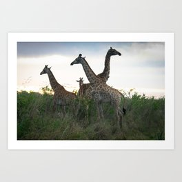 Giraffe's Meeting in Kruger Art Print