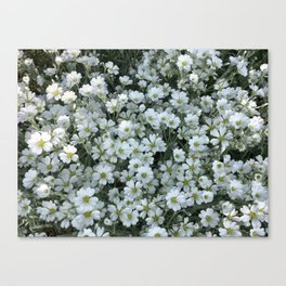 Snow In Summer - Cerastium Silver Carpet Flower Canvas Print