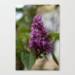 Fresh Purple Lilac Canvas Print