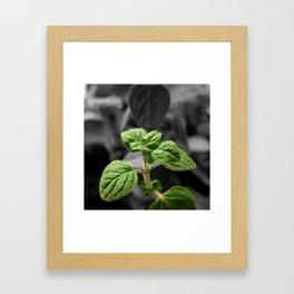 Oregano, Color on B/W 3 Framed Art Print