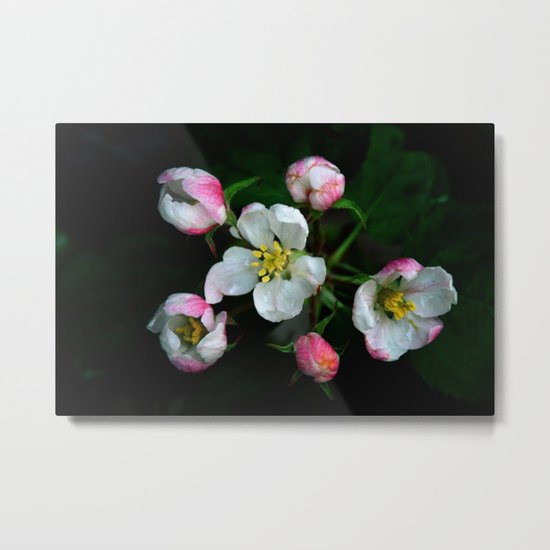 The beauty of apple blossoms Metal Print