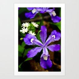 Dwarf Iris Botanical Art, Fine Art Print, Purple Flower Art Print