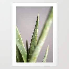 Aloe Vera Agave Cactus Plant Close Up / Exotic Plants Series Art Print