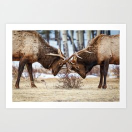 ELK IN RUT COLORADO ROCKY MOUNTAIN NATIONAL PARK WILDLIFE NATURE PHOTOGRAPHY Art Print