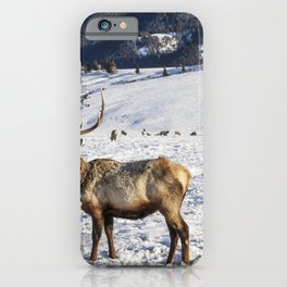 Elk at the US Fish  Wildlife Services elk refuge in Jackson Hole Wyoming a valley on the edge of Gra iPhone Case