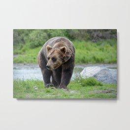 Grizzly Bear 1957 - Alaska Metal Print