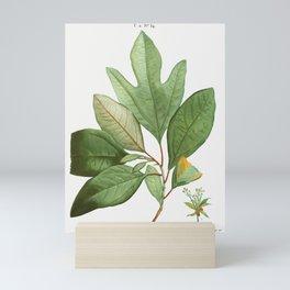 Laurels (Laurus sassafras) from Traité des Arbres et Arbustes que l'on cultive en France en pleine t Mini Art Print