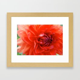 German Dahlia Framed Art Print