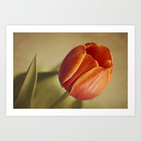 tulip Art Prints featuring Tulip by Lawson Images
