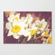 Daffodil flower Canvas Print