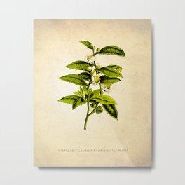 Tea Art Print, Kitchen Art Print, Natural History Poster, Natural History Botanical Art Print, Tea Tree, Tea Plant Art Print, Tea Leaves Art Metal Print