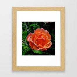 Tuscan Rose Framed Art Print