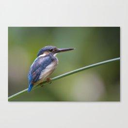 Juvenile Common Kingfisher ( Alcedo atthis ) Canvas Print