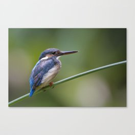 Juvenile Common Kingfisher ( Alcedo atthis ) Canvas Print