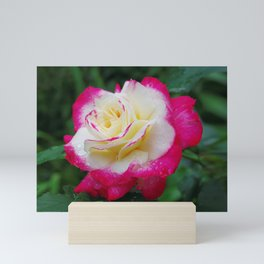 Double Delight Rose - Red and cream beauty Mini Art Print