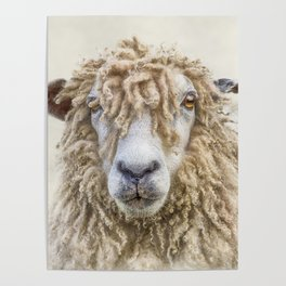Longwool Sheep Poster