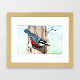 Red Breasted Nuthatch Framed Art Print