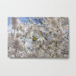 Swallowtail Butterfly in Cherry Blossoms Metal Print