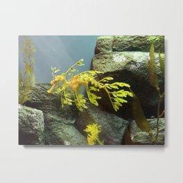 Leafy Sea Dragon with Rocks Metal Print