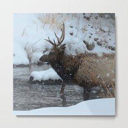 Watercolor Elk Bull 71, Estes Park, Colorado, Crossing the Big Thompson Metal Print