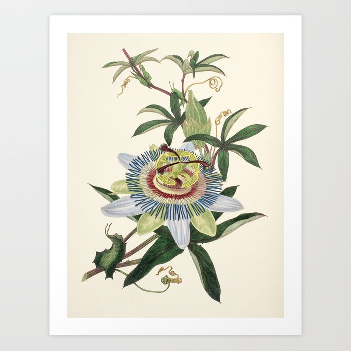 "Passionflower from ""The Moral of Flowers"" (1833) by Rebecca Hey Art Print"