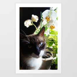 Black and White Snowshoe Cat With Moth Orchid Art Print